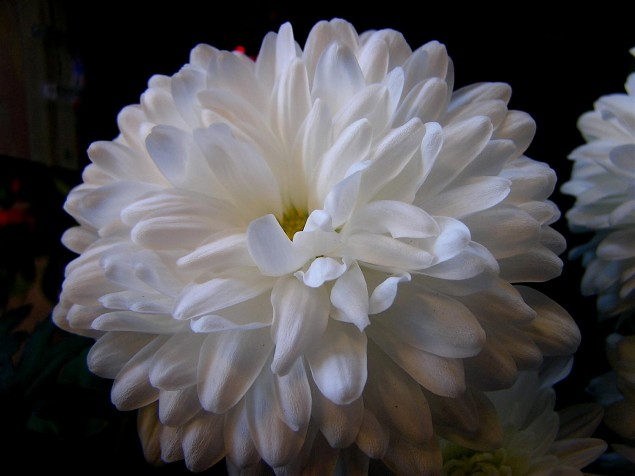 The Chrysanthemum and the Sword Chrysanthemum 635x476